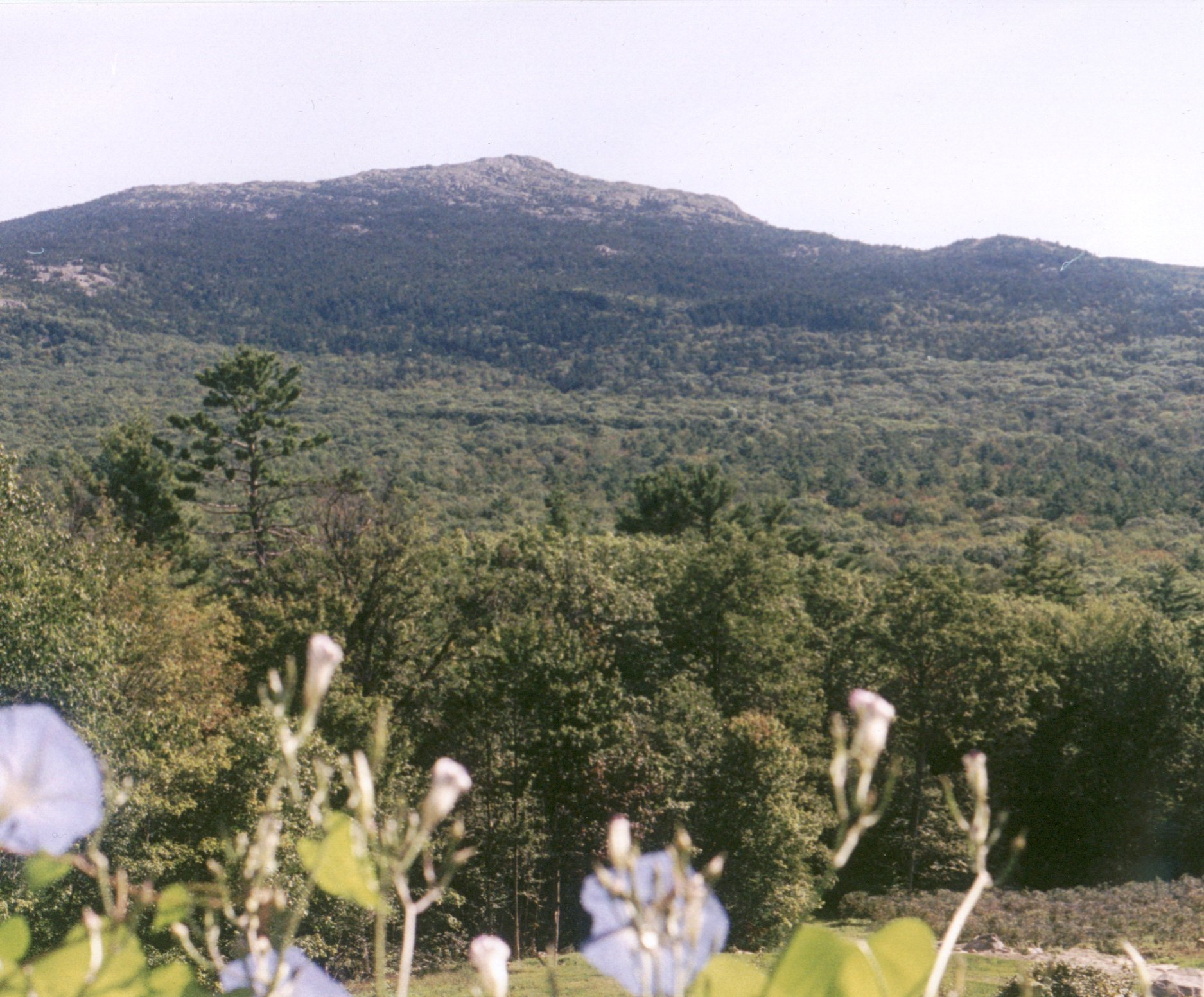 Morning glory & Monadnock background